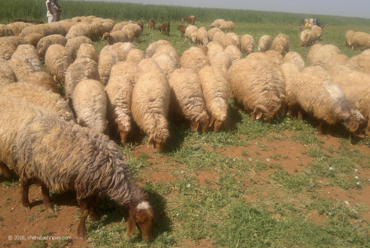 Photo of نجاة راعٍ إثر إنفجار لغم أرضي من مخلفات العدو بقطيع من الأغنام في العباسية